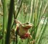 Rainette (hyla meridionalis)