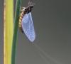 Ephémère adulte (heptageniidae ecdyonurus zelleri)