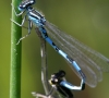 Accouplement de demoiselles (Coenagrion mercuriale)
