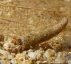 Larve de trichoptère (odontoceridae)