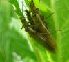 Plécoptère adulte (perlidae)